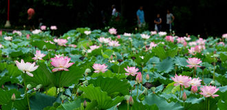 Lotus Pond Landscape Royalty Free Stock Images