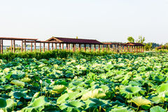 Lotus pond and The long corridor royalty free stock image