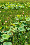 Lotus pond lotus leaf Stock Photography