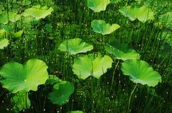 Lotus pond Royalty Free Stock Photos