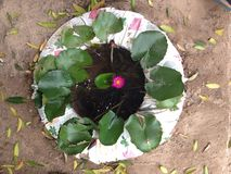 Lotus pond made from old tire Royalty Free Stock Images