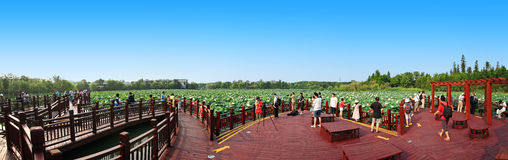 Lotus pond panoramic Royalty Free Stock Photos