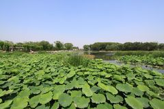 Lotus pond in a park Royalty Free Stock Photo