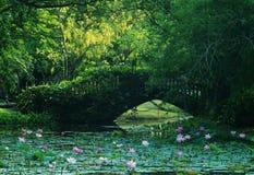 Lotus pond Stock Image