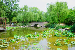 Lotus pond in a park Royalty Free Stock Image