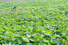 Lotus pond Stock Image