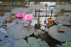 Lotus pond. Pink lotus with green leaves in the pond royalty free stock image