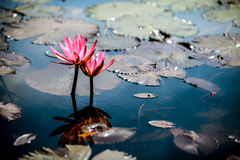 Lotus in the pond. Pink water lily in the river Royalty Free Stock Photo