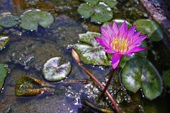 Lotus Pond Purple Flower Concept Imagen de archivo