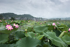 Lotus pond in the rain Stock Photo