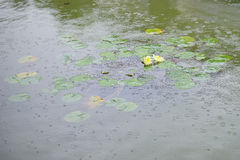 Lotus pond and rain Royalty Free Stock Photos