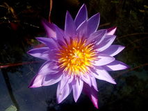 Lotus. In pond with reflecting water on sunlight stock photo
