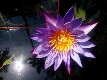 Lotus. In pond with reflecting water on sunlight royalty free stock photos