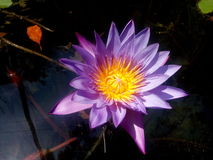 Lotus. In pond with reflecting water on sunlight stock photography