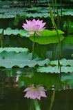 A lotus on the pond. Royalty Free Stock Photography