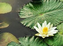 Lotus in pond with reflection and copy text space royalty free stock photo