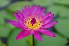 Lotus Pond roja en Umi Jigoku, Beppu, Oita, Japón Fotos de archivo