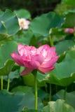 Lotus pond scenery Royalty Free Stock Photo