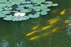 Lotus pond Royalty Free Stock Photography