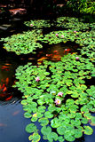 Lotus pond in spring rain Stock Photo