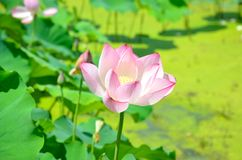 Lotus. The lotus in the pond in summer Royalty Free Stock Image