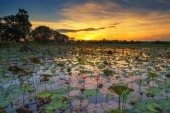 Lotus pond.  Stock Photos