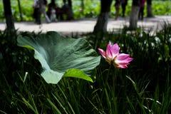 Lotus pond. Lotus Symbol of buddhism and religion Royalty Free Stock Photo