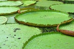 Lotus Pond, Tailândia Fotografia de Stock