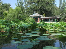 Lotus pond Stock Photos