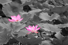 Lotus pond. Two lotus flowers are blooming in lotus pond royalty free stock photo