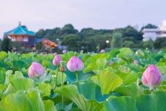 Lotus. Pond at ueno park Stock Photos