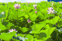 Lotus pond. Under the sunshine Stock Images