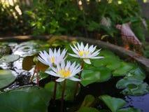 Lotus Pond fotografia stock