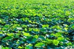 Lotus pond Stock Photo