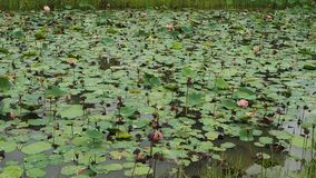 Lotus pond. Water lilies on a lotus pond in Thailand stock video footage