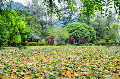 Lotus pond which is located in the garden at the Kek Lok Tong,Ipoh Malaysia. Ipoh,Malaysia - July 16,2015 : Lotus pond which is located in the garden at the Kek Royalty Free Stock Photos