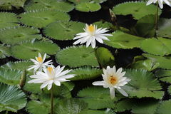 Lotus on the pond. White Lotus on the pond Stock Images