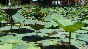 Lotus pond stock video