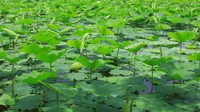 Lotus pond in the wind stock video footage