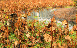 The lotus pond in winter. In the winter season, big lotus pond, lotus leaves wither wither away, a picture of a depression Stock Photo