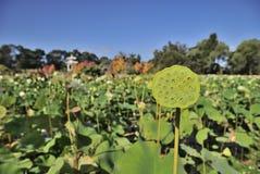 Lotus Pond y Lotus Seed Imágenes de archivo libres de regalías