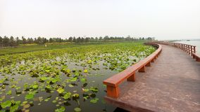 Lotus pond with zigzag wooden bridge Royalty Free Stock Images