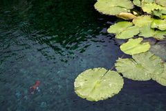 Lotus Pool. A gold fish is swimming in a lotus pool inside a Hong Kong Temple - Chillin Nunnery Royalty Free Stock Photo