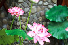 Lotus in a pool. Fake lotus in a pool, looks like they are real ones, blossom in summer, pink flowers, green leaves, very vitality and positive Stock Photos