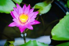 Lotus porpora fotografia stock libera da diritti