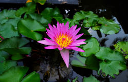 Lotus porpora con la foglia verde del giglio Immagine Stock Libera da Diritti