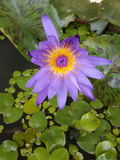 Lotus porpora in uno stagno Immagini Stock