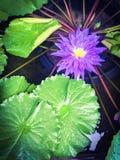 Lotus pound. Water lily purple purple plant botanical Stock Photos