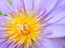 Lotus pourpré photo stock