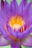 Lotus pourpré image libre de droits